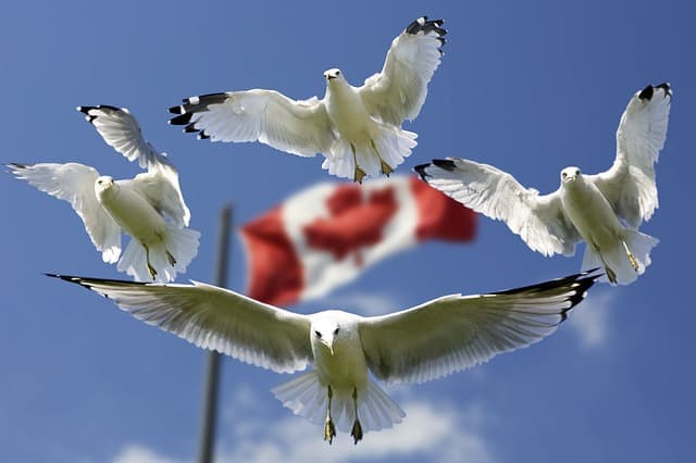 Canadian flag and gulls